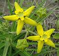 Asclepiadaceae sp. Metuge (11745736646).jpg
