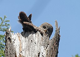 Ash Creek Great Gray Owl 2014 (16125701616)