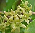 Ashoka (Polyalthia longifolia) flowers W2 IMG 7047.jpg