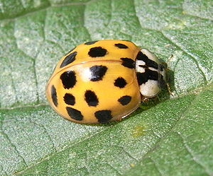 Asian lady beetle (Harmonia axyridis f. 02c).