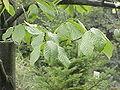 Asimina triloba2.jpg