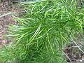 Asparagus angusticladus, Roodeplaat Natuurreservaat.jpg