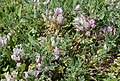 Astragalus sempervirens.jpg