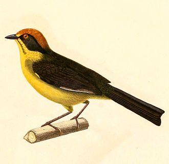 Bolivian brush finch - Image: Atlapetes rufinucha 1847
