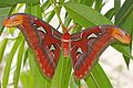 Atlas Moth - Attacus atlas, Brookside Gardens.jpg