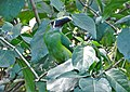 Aulacorhynchus albivitta (El Retiro, Antioquia.jpg