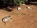 Australia Queensland kenguru - panoramio - Vinko Rajic (1).jpg