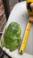 Australian Green Tree Frog measuring over 12cm.png