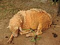 Australian sheep-4-praba pet-salem-India.jpg
