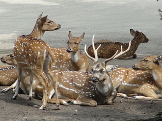 Chital - A resting herd of chital