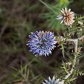 Azurite-Echinops ritro-Fleur-20140804.jpg