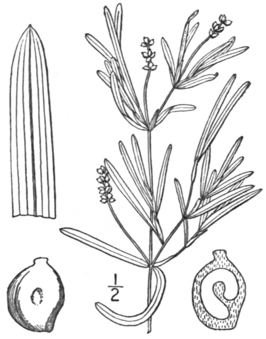 BB-0196 Potamogeton friesii.png