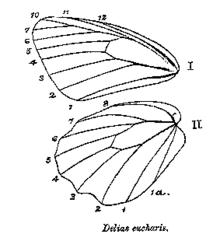 Aile De Papillon Dessin aile (anatomie des insectes) — wikipédia