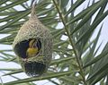 BUILD- Baya Weaver.jpg