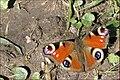 Babocka pavi oko - Inachis io.jpg