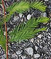 Bald Cypress Leaf Closeup 1848px.jpg