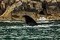 Ballena jorobada (Megaptera novaeangliae), Bahía de la Resurección, Seward, Alaska, Estados Unidos, 2017-08-21, DD 43.jpg