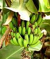 Bananas - Morocco.jpg
