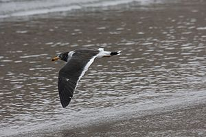 Belcher's gull - The band on the tail is a diagnostic feature