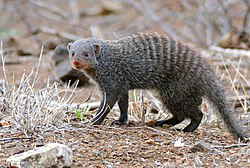 Banded Mongoose (Mungos mungo) foraging outside the fence ... (32434912453).jpg