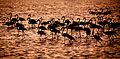 Bando de Flamingos.jpg