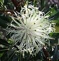 Banksia sessilis inflorescence mid-anthesis.jpg