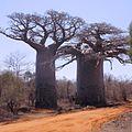 Baobab 06.jpg