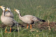 Bar-headed Goose by Dr. Raju Kasambe DSCN7530 (23).jpg