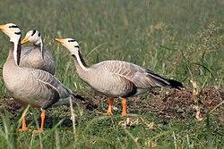 Bar-headed Goose by Dr. Raju Kasambe DSCN7530 (23).jpg
