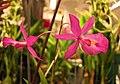 Bardendrum Cyclotella Jerusan 'CT Red Bird' -香港沙田洋蘭展 Shatin Orchid Show, Hong Kong- (30673877723).jpg