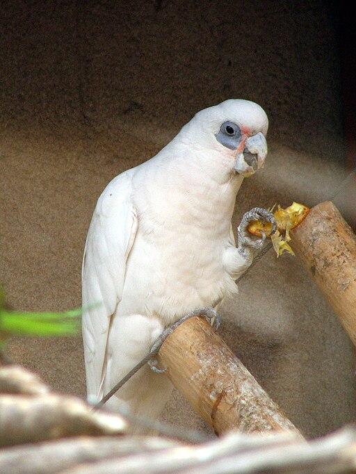 Bare-eyed Cockatoo 01