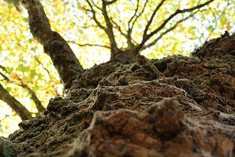 Bark - Bark of a tree in England