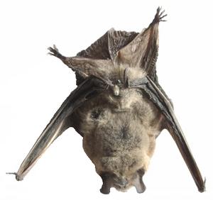 English: Bat