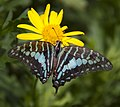 Battered Blue Swallowtail (5662447313).jpg