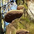 Baumpilze - Flickr - Stiller Beobachter.jpg
