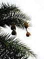 Baya weaver (Ploceus philippinus) on Phoenix sylvestris from Andhra Phoenix sylvestris from Andhra JEG8942.JPG