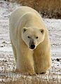 Bear (6356496167).jpg