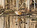Bearded Tit (F) reflected Explored 25-2-2015 - Flickr - Smudge 9000.jpg