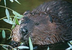 Ecosystem engineer - Beavers are the prototypical ecosystem engineer because of the effects their dams have on channel flow, geomorphology, and ecology.