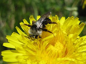 Description de l'image Bee Dandelion 080427.jpg.