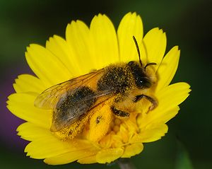 Andrenidae - Image: Bee February 2008 3