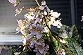 Begonia Hocking Shockwave 2zz.jpg