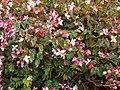 Begonia coccinea Hook. (AM AK299370-2).jpg