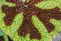 Begonia masoniana Iron Cross Botanischer Garten Linz -0116.jpg