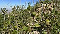 Bellotas en la sierra - arbustos - panoramio.jpg