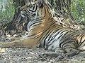 Bengal Tiger - panoramio.jpg