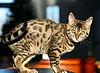 Bengal kitten Mel.jpg