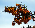 Berberis darwinii - Great Saling Essex England 1.jpg