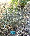 Berberis darwinii - San Luis Obispo Botanical Garden - DSC05985.JPG
