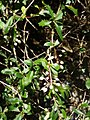 Berberis glaucocarpa Stapf (AM AK295138-1).jpg